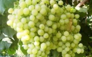 Неукрывной виноград в самаре