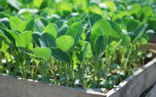Сроки посева пекинской капусты на рассаду