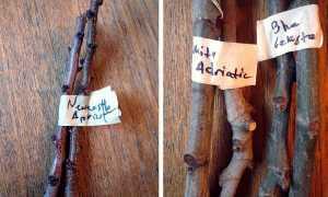 Как размножить абрикос черенком