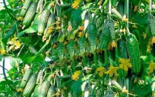 Огурцы опылители для открытого грунта