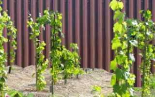Как красиво посадить виноград