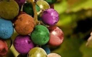 Девичий виноград в квартире