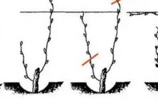 Как обрезать трехгодовалый виноград