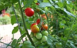Сорта помидоров устойчивых к фитофторе в беларуси