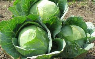 Лучшие сорта позднеспелой капусты