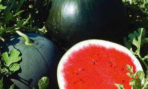 Выращивание арбузов в сибири в теплице