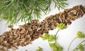 Применение отвара семян укропа