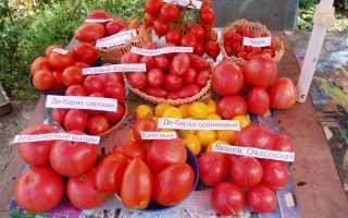 Ранние сорта томатов для сибири открытый грунт