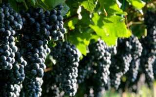 Виноград антей магарача описание сорта фото отзывы
