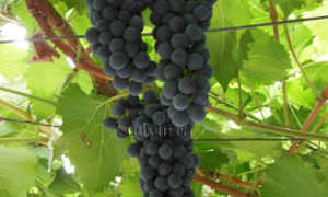 Виноград бако описание сорта фото отзывы