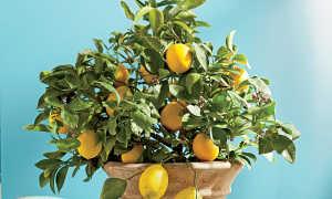 У лимона сохнут и скручиваются листья