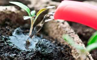 Чем удобрить рассаду помидор