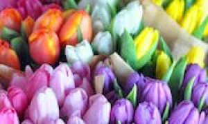 К чему снятся розовые тюльпаны