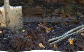 Как прикопать саженцы винограда на зиму