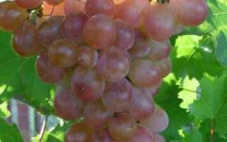 Сорт винограда розовый фламинго фото и описание