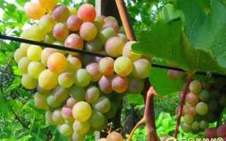 Винные сорта винограда неукрывные