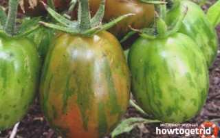 Сорт томата супер экзотик