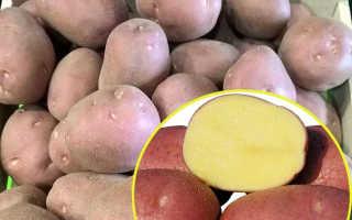 Картофель беллароза характеристика сорта отзывы вкусовые качества