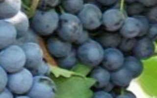 Виноград макси черный видео