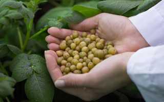 Можно ли вырастить картофель из семян