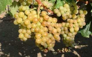 Сорт винограда в венгрии
