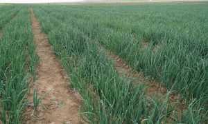 Урожайность лука с гектара