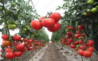 Полудетерминантный сорт томатов что это такое