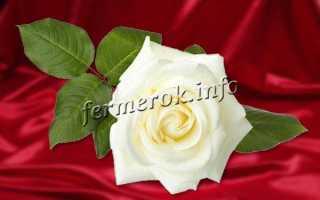 Очень красивые белые розы