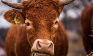 Когда корова меняет зубы