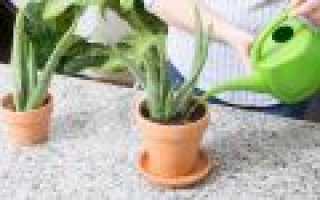 Как правильно поливать алоэ в домашних условиях
