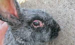 Можно ли есть мясо кролика больного миксоматозом