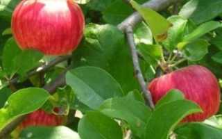 Сорт яблок штрифель или штрейфлинг как правильно