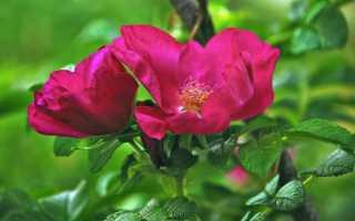 Почему роза перерастает в шиповник