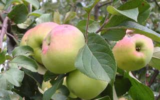 Яблоко имрус описание фото